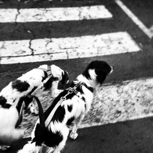 Brittanyspaniels crossing Dogsofinstagram Rescuedogsofinstagram Dogstsagram Brittanyspaniel Rescuedogs Streetphotography Streetphoto Blackandwhitephotography Blackandwhite Bnw_maniac Bnw Bnwlovers Bnw_lover Mono Monochrome Blackandwhitestreetphotography photography