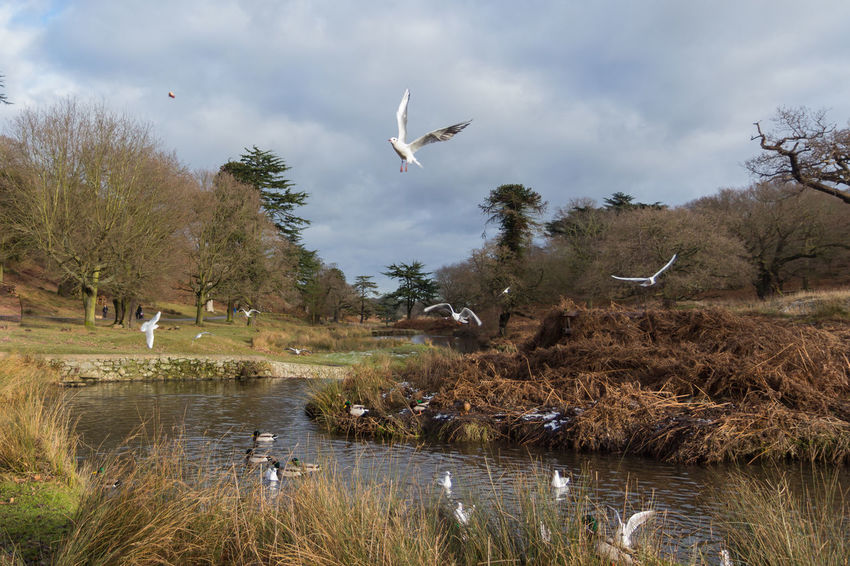 Birds flying over a river in a park Birds🐦⛅ Blue Sky White Clouds Bushes Countryside Uk Day Ducks In Water Grass Green Nature Outdoors Park Rural Scene Swans Trees Water Wildlife & Nature