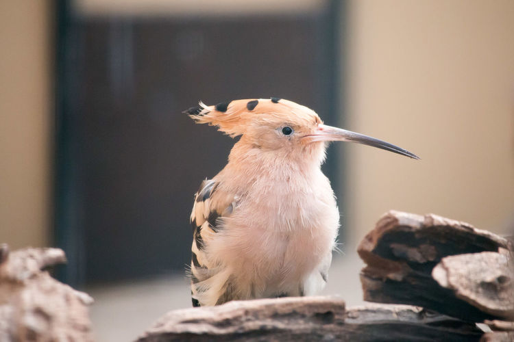 Bird hoopoe lat. Upupa epops Animal Animal Themes Animal Wildlife Animals In The Wild Beak Bird Close-up Day Focus On Foreground Looking Looking Away Mouth Open Nature No People One Animal Rock Rock - Object Selective Focus Solid Vertebrate Young Animal Young Bird