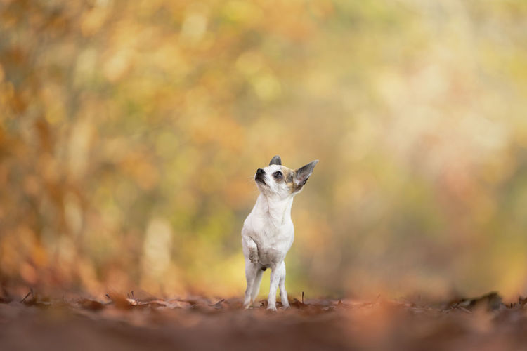 Chihuahua dog standing in an autumn forest lane with sunbeams