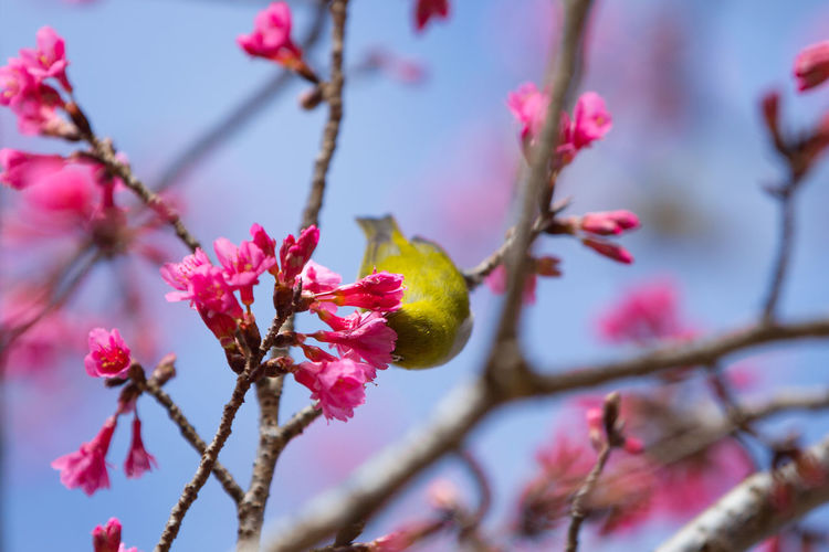 Oriental White eye EyeEm Nature Lover Oriental White Eye Animal Themes Animal Wildlife Beauty In Nature Bird Blooming Branch Close-up Day Flower Flower Head Focus On Foreground Fragility Freshness Growth Low Angle View Nature No People Outdoors Petal Pink Color Springtime Tree Twig