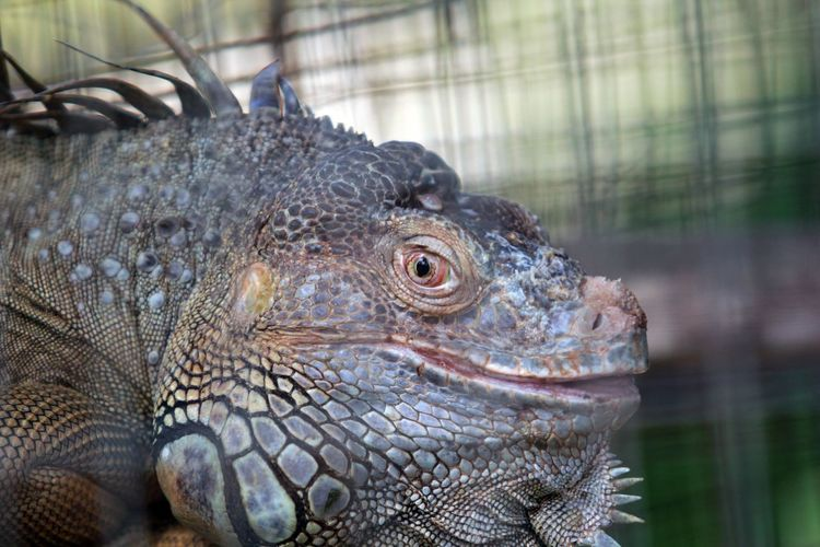 Close-Up Of Iguana In Cage At Zoo