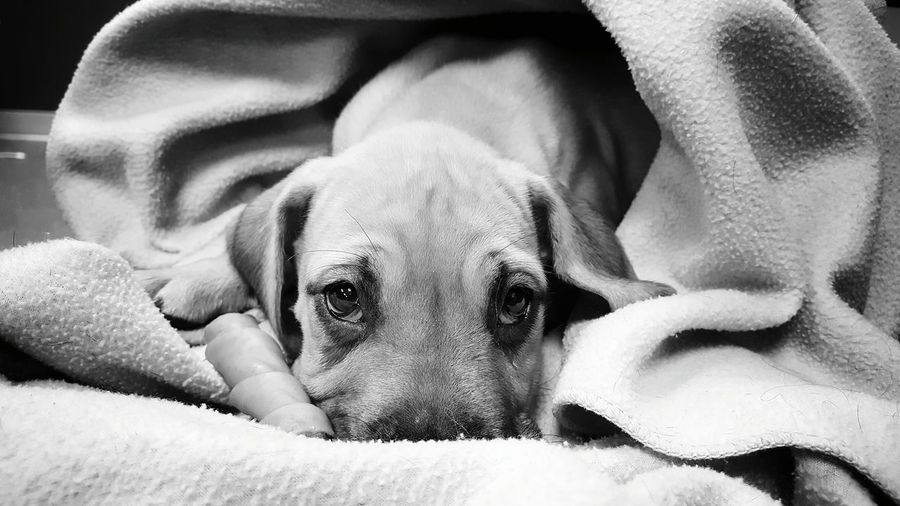 Close-up portrait of dog relaxing on blanket