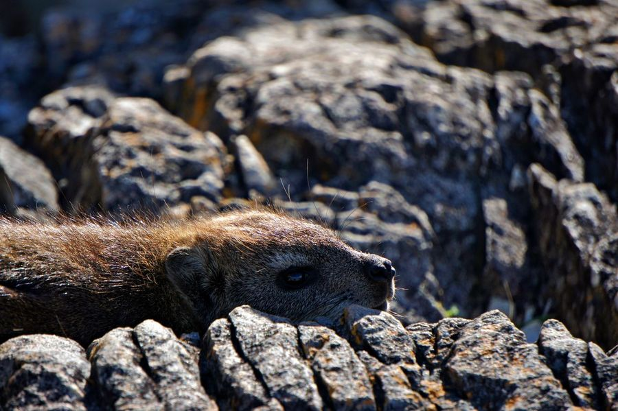 Animal Animal Themes Animal Wildlife Animals In The Wild Close-up Dassie Day Focus On Foreground Mammal Marine Nature No People One Animal Outdoors Rock Rock - Object Rodent Selective Focus Solid Sunlight Textured  Vertebrate Whisker