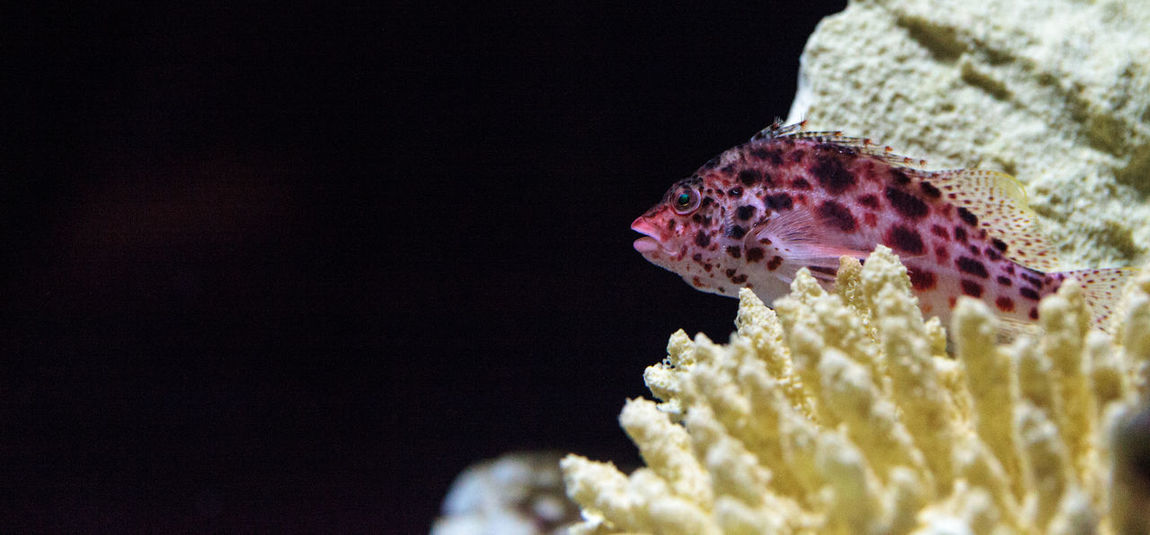 Spotted hawkfish Cirrhitichthys aprinus perches on coral and sand in a reef Aquarium Cirrhitichthys Aprinus Coral Coral Reef Fish Hawkfish Marine Fish Marine Life Spotted Hawkfish Tropical Fish Underwater Underwater Photography Wildlife