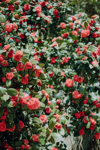 Full frame shot of red flowering plants