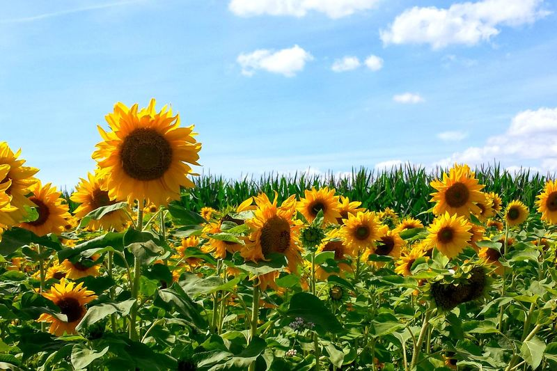Flower Sunflower Sunflower Field Symbol Of Sun Nature Summer Summertime Beauty Summertime Summer Symbol Ladyphotographerofthemonth Growth Plant Sky Cloud - Sky Beauty In Nature Field Flower Head Botany Day Outdoors Tranquility No People Close-up Scenics Multi Colored EyeEm Selects
