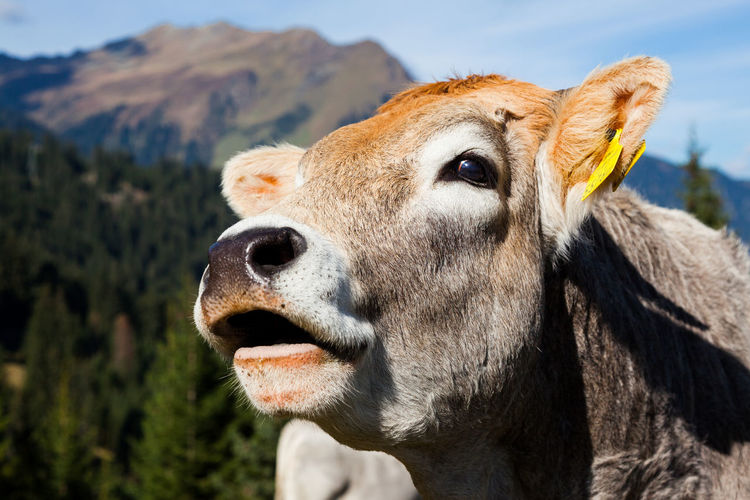 Close-up portrait of cow against sky