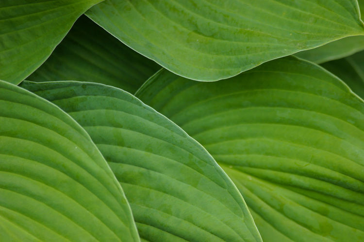 Copy Space Green Green Color Lines Patterns In Nature Backgrounds Beauty In Nature Botany Copyspace Green Background Green Color Green Waves Greenery Growth Leaf Leaf Vein Leaves Lines And Shapes Natural Pattern Nature No People Pattern Plant Plant Part Texture