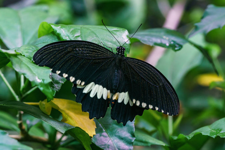 Animal Animal Themes Animal Wildlife Animal Wing Animals In The Wild Beauty In Nature Butterfly Butterfly - Insect Close-up Day Focus On Foreground Green Color Growth Insect Invertebrate Leaf Nature No People One Animal Plant Plant Part