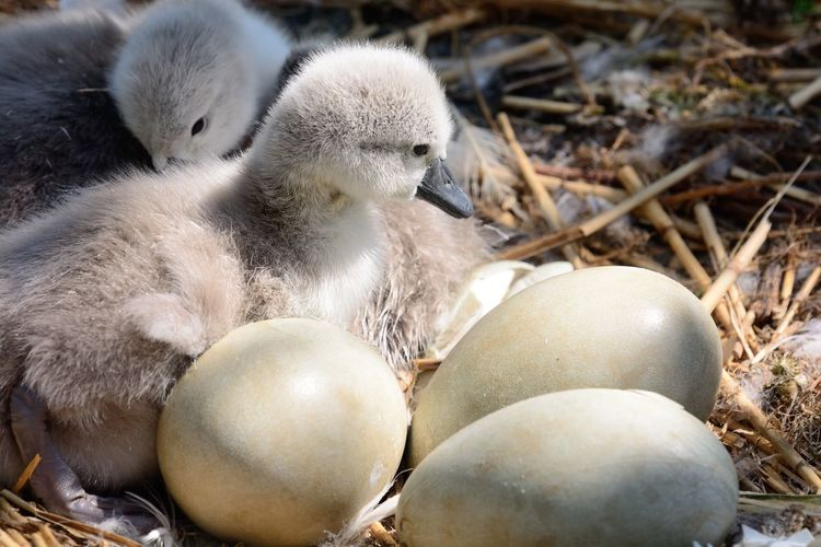 Close-Up Of Cygnets With Eggs On Straws
