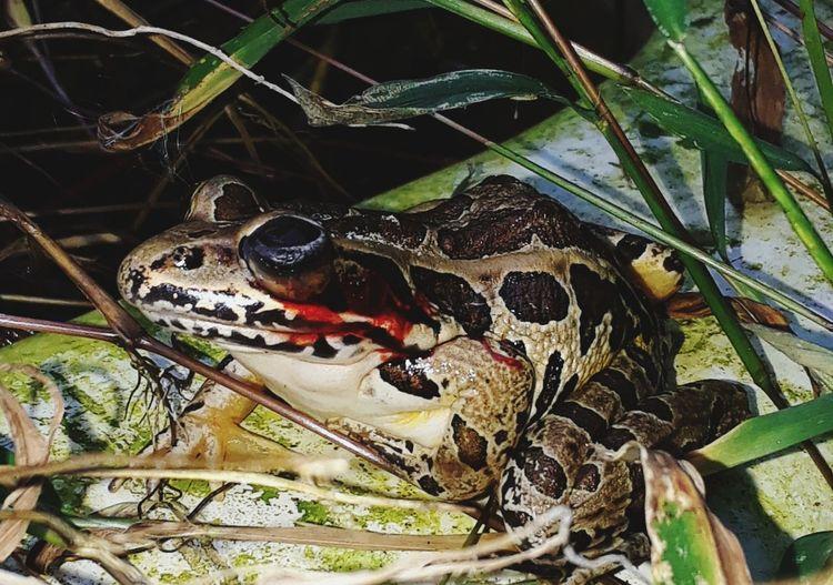 Injured frog