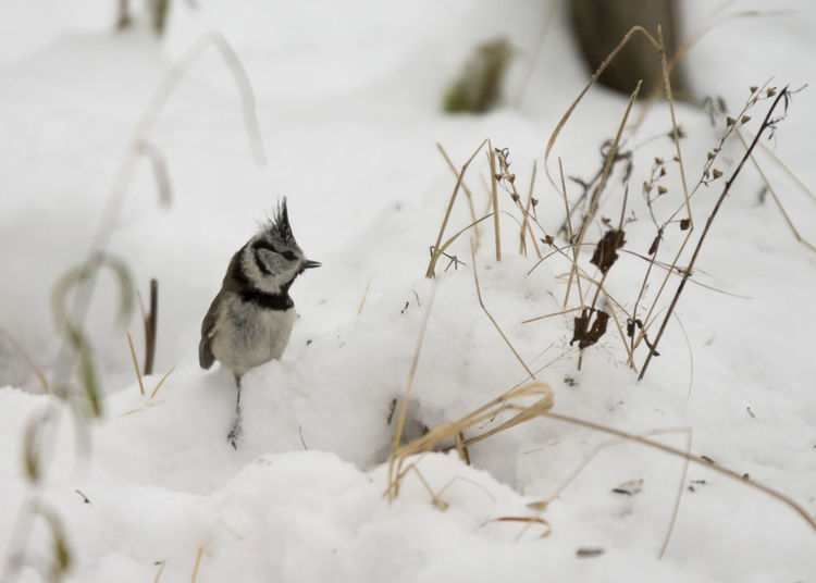 Animal Themes Animal Wildlife Animals In The Wild Beauty In Nature Bird Crested Tit Day Nature No People Outdoors Parus Cristatus Snow Winter