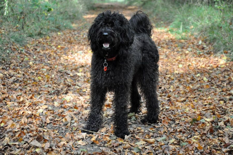 50+ Labradoodle Pictures HD | Download Authentic Images on EyeEm