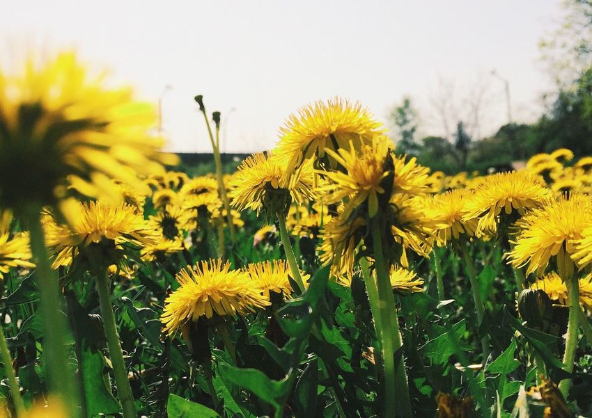 Kissed by the sun... Nature Macro Vscocam Taking Photos Flowers The Great Outdoors - 2015 EyeEm Awards Eye4photography  My Smartphone Life Lemon By Motorola South