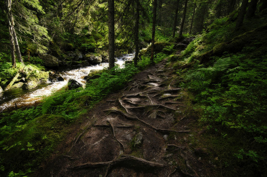 Rooted Path Trees Woods Roots Rooted Shade Shadows Path River Stream Water Klövsjö Jamtland Nature Growth No People Forest Beauty In Nature Grass Green Color