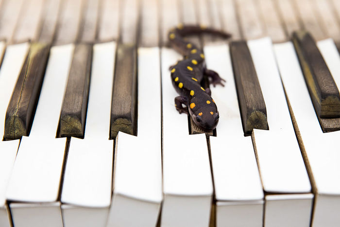 In the Spring, I found this beautiful salamander under a tarp in my garden. I had this old keyboard. I took this beautiful creature and, while still in stillness mode, I placed it on the keyboard for several shots. After a while, waking up with the warmth of the sun, I decided to bring the Salamander to our pond. Amphibian Animals Close-up Dots Keyboard Lines & Dots Lines, Shapes And Curves Piano Piano Keys Portrait Salamander Slow