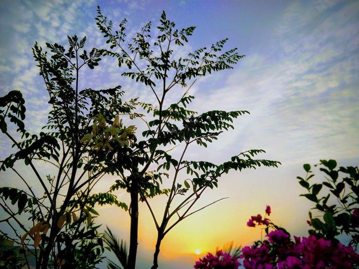 Sunset Colors Orange Sky Moringa Bougainville White Flowers And Buds Blue Sky Terrace Gardening Terrace Flowers Tree Flower Sunset Bird Multi Colored Rural Scene Leaf Silhouette Sky Close-up