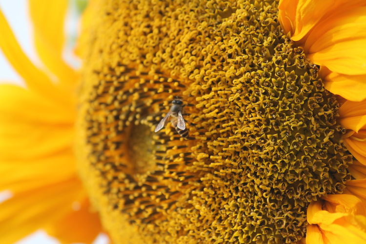 The Sunflower and the honeybee Animal Themes Animal Wildlife Animals In The Wild Beauty In Nature Bee Close-up Day Flower Flower Head Fragility Freshness Growth Insect Nature No People Outdoors Petal Yellow Paint The Town Yellow