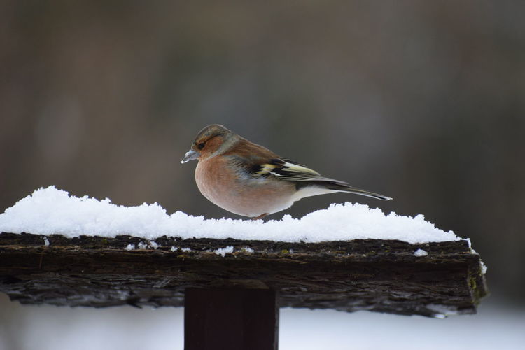 finch Bird Snow
