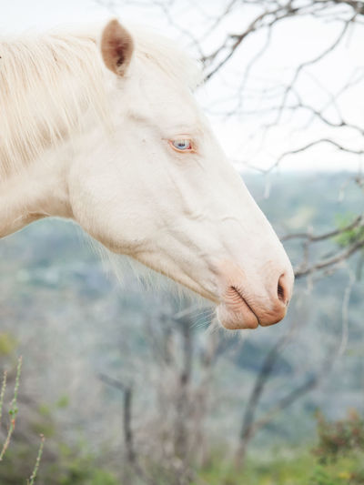 albin half-wild horse Albino Animal Body Part Animal Themes Animals In The Wild Close-up Creamello Day Domestic Animals Horse Mammal Nature No People One Animal Outdoors