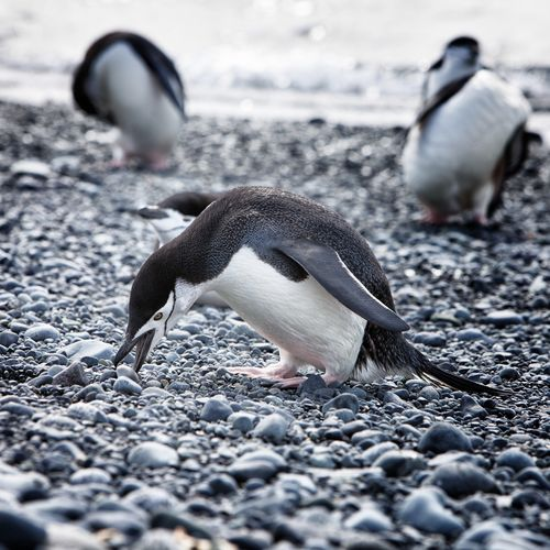 Penguin on pebbles at beach