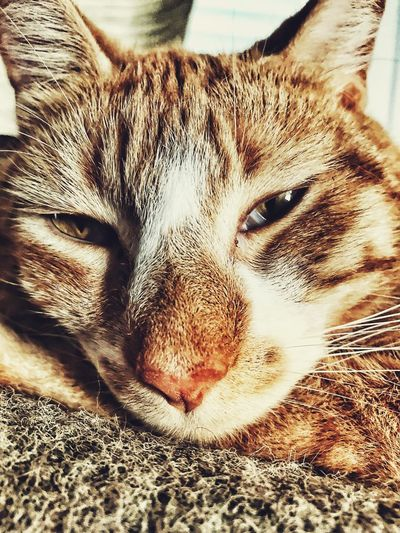 Domestic Cat One Animal Pets Mammal Domestic Animals Feline Close-up Whisker Indoors  Relaxation Looking At Camera No People Lying Down Day