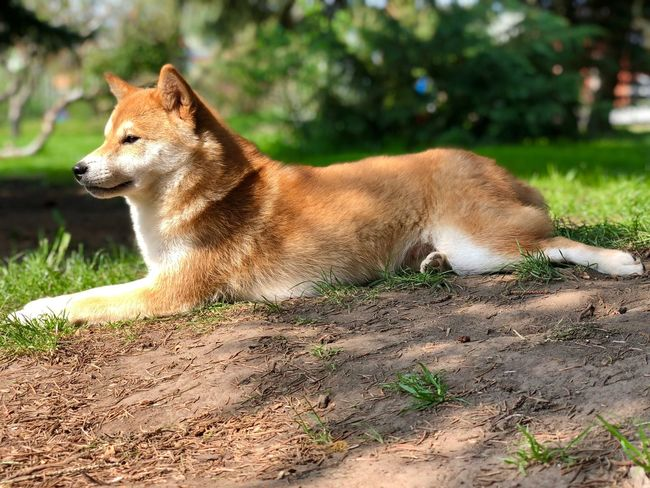 P L A T Z in der S O N N E Shiba Inu YUMImaus Animal Themes One Animal Animal Vertebrate Sunlight Domestic Animals Dog Side View Relaxation