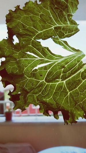 WOW Green Green Green!  Damar Marul Lettuce Cos Vessels The Vessels Lettuce Lettuce. Sunshine ☀ Green Beautiful Beatyfull Torn Fresh Lettuce