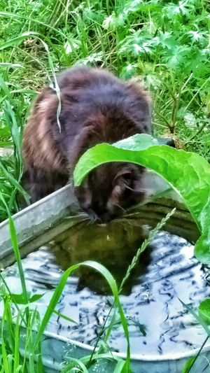Cats Of EyeEm Water Reflections Black Cat Animal Photography Drinking Water Water Ripples Reflections Cats My Cat Furfamily Cats Are People Too American Bobtail Cats Manix Cat