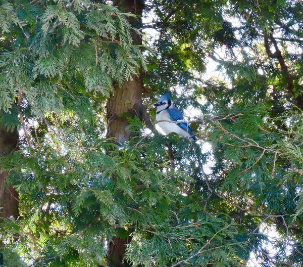 Blue jay ups tree Tree Bird Animal Wildlife Low Angle View No People