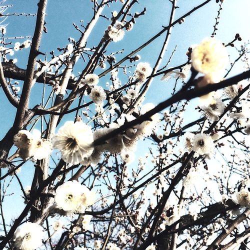 Blue Sky and Japanese Plum Blossom ?? Almost Full Bloom ?✨