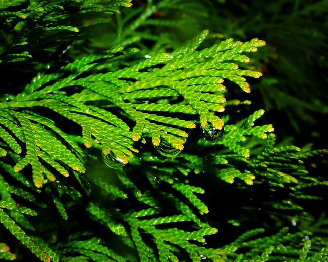 Cupressus Cupressus Green RainDrop Water Leaf Fern Close-up Green Color Plant Part Plant Life Coniferous Tree Botany Growing Leaves Botanical Garden Evergreen Tree