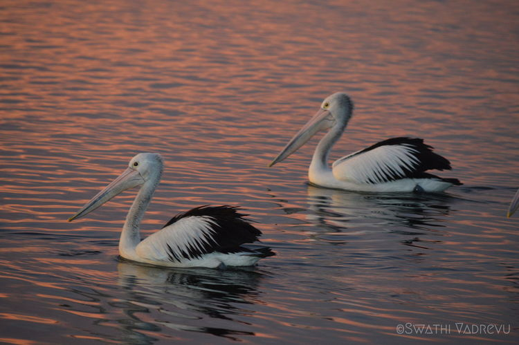 Australia Nightphotography Beauty In Nature Bird Day Lake Nature No People Outdoors Pelican Birds Spread Wings Sunset Swan Swimming The Entrance The Entrance Nsw Togetherness Water Water Bird Waterfront