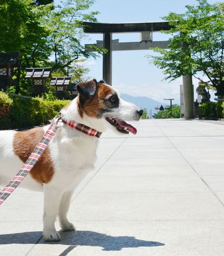 Jack Russell Terrier At Takeda Shrine During Sunny Day