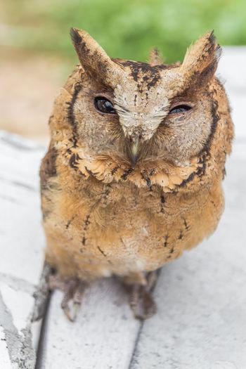 The big eyes Owl. Animal Wildlife Barn Owl; Beak; Beautiful Big Eyes; Bird Brown Feather; Claw; Closeup; Cute Feather; Hunter; Nature Night; Outdoors Owl; Predator; Thailand; Watching; Wing;