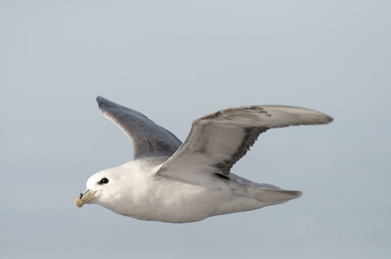 Arctic Skua Spitsbergen Arctic Bird Iceberg Polar Climate Skua Svalbard