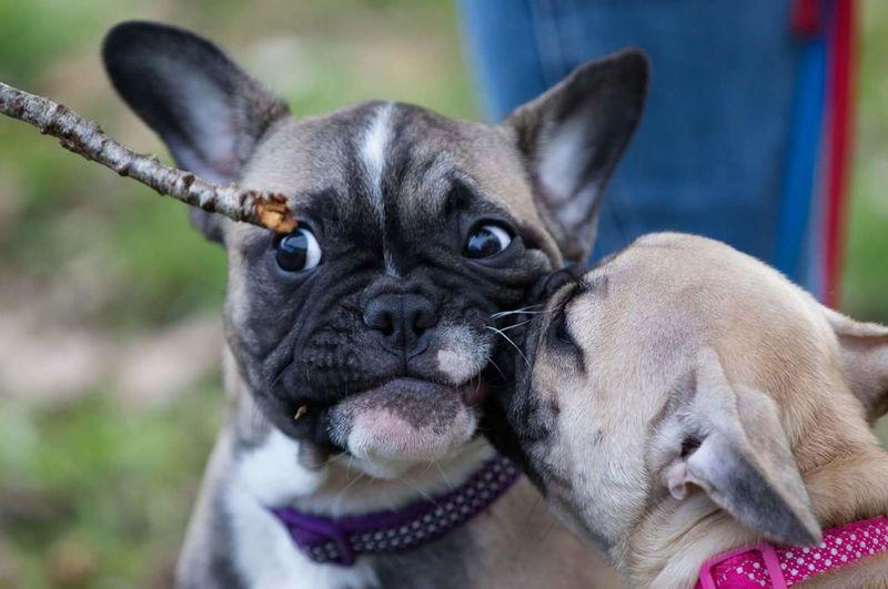 Eyes in the stick! #Frenchie Frenchbulldogpuppy Frenchbulldog Love EyeEmMission Dog Pets Animal One Animal Domestic Animals French Bulldog