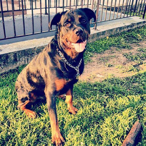 Love this handsome man <3 Rottweiler Shithead Lovehim MyFavorite