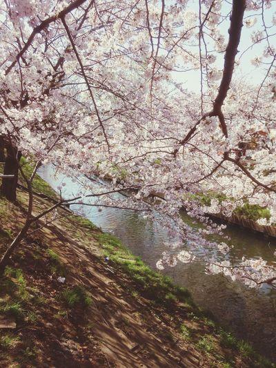桜 桜 Sakura EyeEmBestPics EyeEm Nature Lover EyeEmbestshots Pink Flower Cheeryblossom