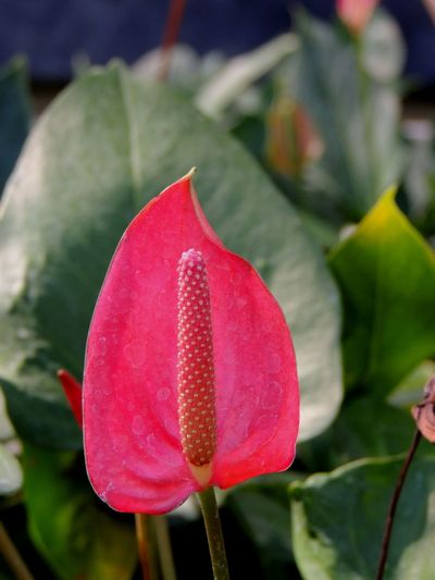Background of flamingo flower Aim Backgrounds Beauty In Nature Blooming Boy Flower Close-up Day Flamingo Flower Flower Flower Head Fragility Freshness Green Growth Nature No People Outdoors Petal Red