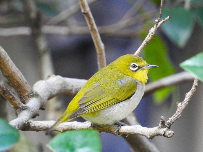 綠繡眼 Bird