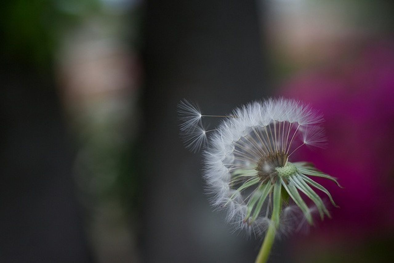flower, fragility, dandelion, flower head, dandelion seed, nature, freshness, growth, beauty in nature, softness, focus on foreground, close-up, botany, plant, petal, selective focus, outdoors, day, uncultivated, springtime, blooming, no people