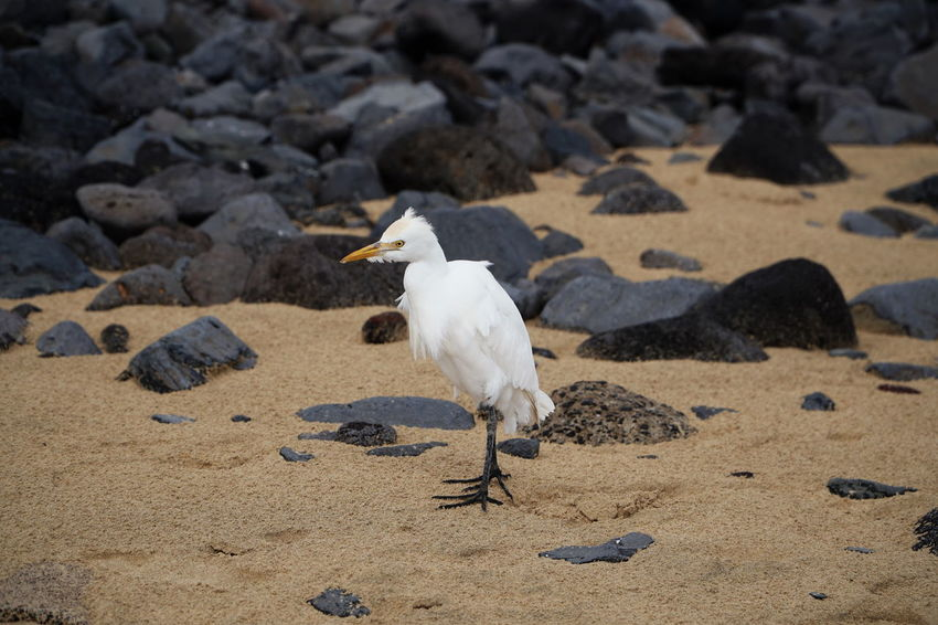 egret James Fuerteventura Animal Themes Animal Wildlife Animals In The Wild Beach Bird Day Egret Great Egret Nature No People One Animal Outdoors Perching Sand Seagull Water