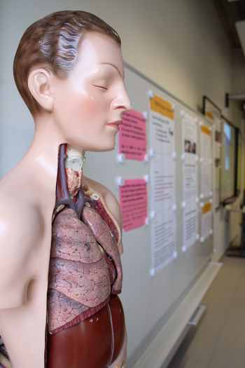Close-Up Of Anatomical Model In Classroom
