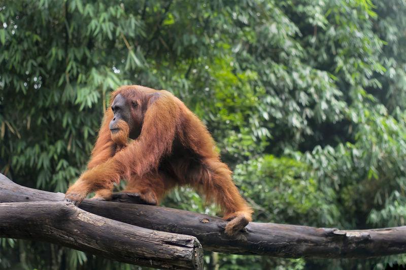 Orangutan walking on logs