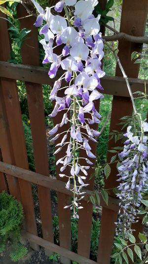 Purple flowering plants by fence