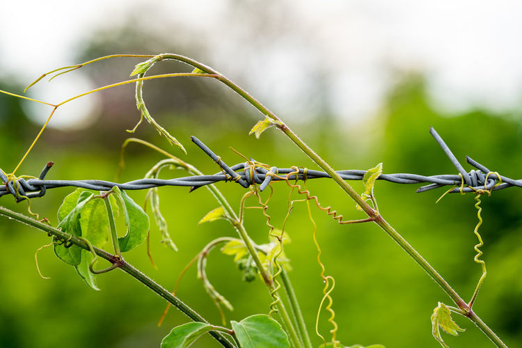 Close-up of barbed wire on plant