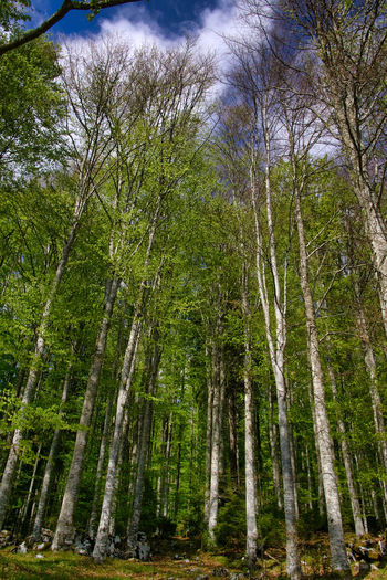 beech forest Green Nature Tree Trees Wood WoodLand Beech Beech Forest Beech Wood Forest Mountain Trees