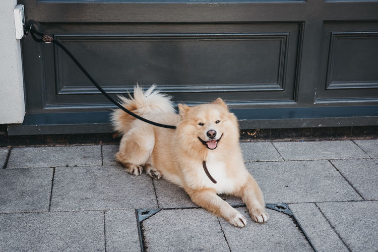 Happy dog laying on the pavement, waiting for the owner outside a shop in london, uk.